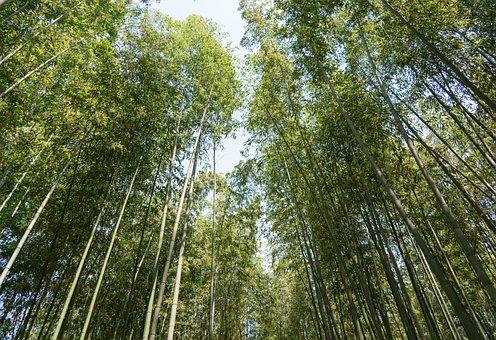 Japan, Arashiyama, Bamboo Forest, Trees, Kyoto, Nature