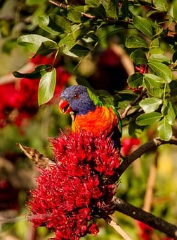 Rainbow Lorikeet, Parrot, Colourful, Bird, Australian