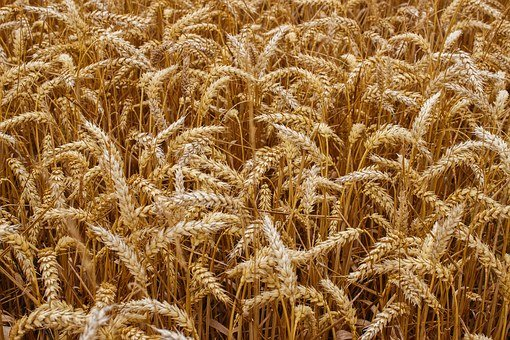 Wheat, Grain, Crops, Bread, Harvest, Agriculture, Seeds