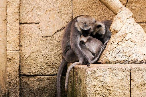 Monkey, Zoo, Cute, Hanover, Snuggle, Hulman-langur