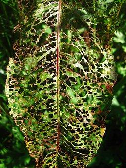 Eaten Away Leaf, Sorrel Leaf, Green, Summer, Garden