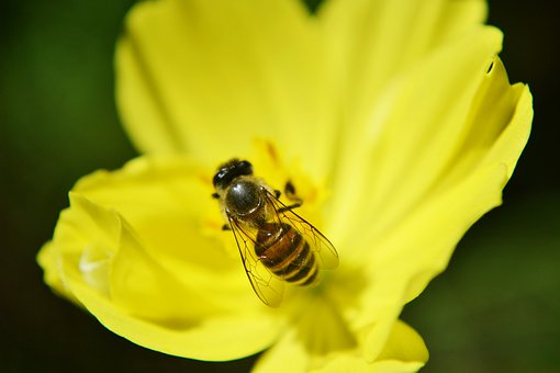 Bee, Anthophila, Honey, Honey Bee, Active, Busy, Fast