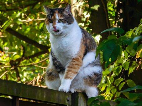 Cat, Lucky Cat, Fence, Tongue, Balance, Three Coloured