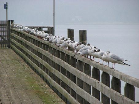 Gulls, Fence, Ammersee, Web, Boardwalk, Birds, Trueb