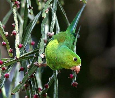 Parakeet, Green, Food, Feeding, Looking