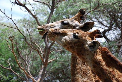 Giraffes, Animals, Heads, Tall, South Africa, Eating