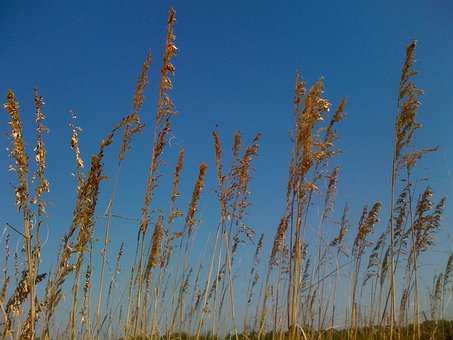 Sea Oats, Weeds, Inflorescence, Flowers, Dried, Flora