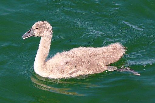 Lake, Swan, Young Swan, Baby, Cute, Plumage, Scrubby