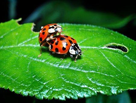 Ladybugs, Multiplication, Leaf, Macro, Closeup, Sex