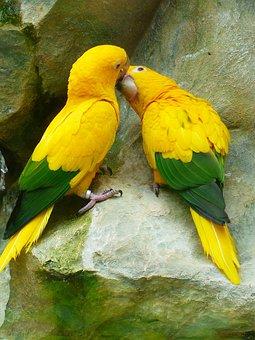 Gold Parakeets, Kiss, Love, Bird Couple, Couple, Birds