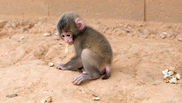 Monkey, Baby, Eating Peanut, Animal, Wildlife, Mammal