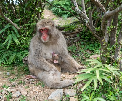 Japan, Arashiyama, Kyoto, Monkey Park, Mother, Baby