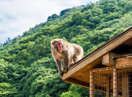Arashiyama, Japan, Monkey Park, Monkey, Monkey On Roof