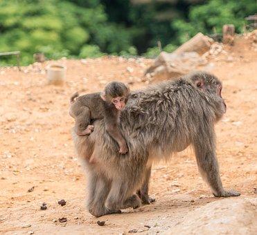 Arashiyama, Japan, Monkey Park, Monkeys, Mother Baby