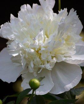 Flower, Peony, Bloom, Spring, Summer, Single, White