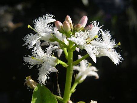 Fever Dress, Menyanthies Trifoliata, Pond Plant, White