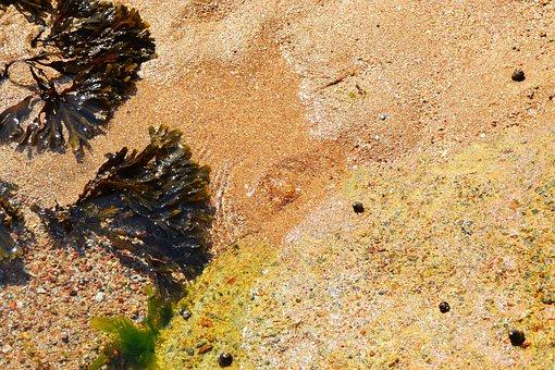 Seaweed, Sea, Sea Shore, Sand, Bladder Wrack