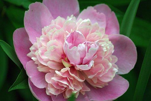 Flower, Peony, Bloom, Spring, Summer, Round, Lush