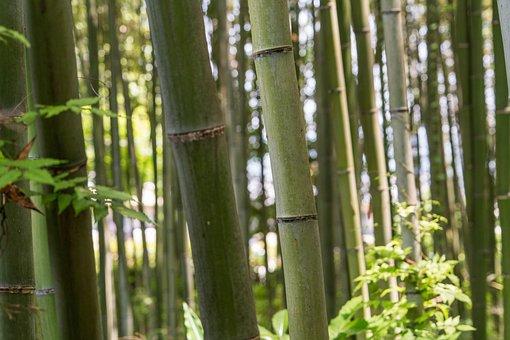Japan, Arashiyama, Bamboo Forest, Close Up, Trees