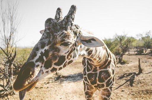 Giraffe, Africa, Animal, Safari, Nature, Mammal