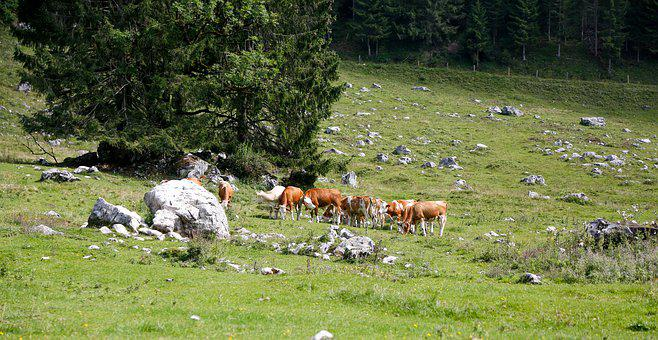 Alm, Cattle, Agriculture, Ruminant, Cow, Pasture