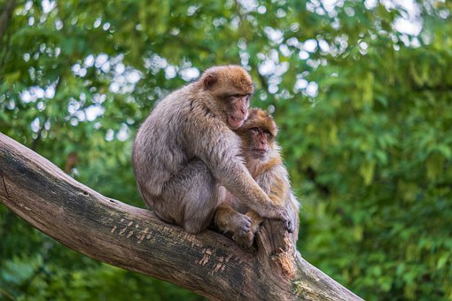 Monkey, Barbary Ape, Animal, Animal World, Sweet