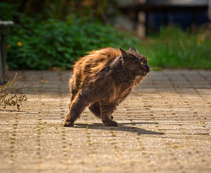 Cat, Pet, Fur, Movement, Terrace, Animal, Domestic Cat