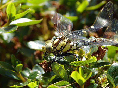 Dragonfly, Animal, Insect, Wing, Nature, Macro