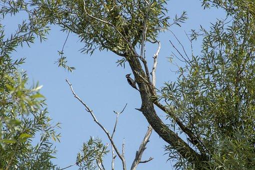 Woodpecker, Bird, Vertebrate, Wood, Beak, Wingtip Toys