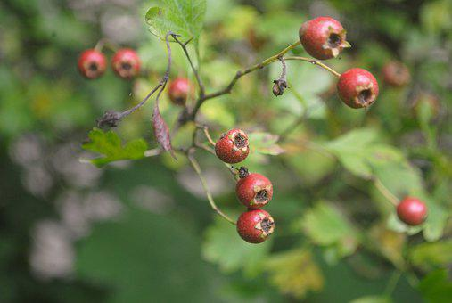 Hawthorn, Plant, Shrub, Berries, Bush, Red