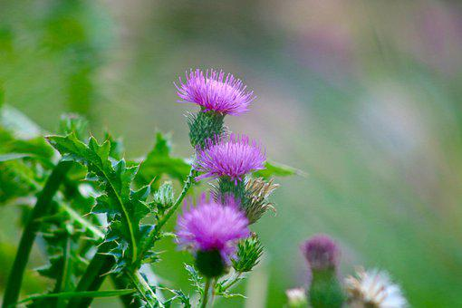 Thistle, Violet, Blossom, Bloom, Purple, Flower, Nature