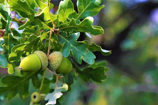 Bonito, Fruit, Tree, Nature, Branch, Green, Leaves, Oak