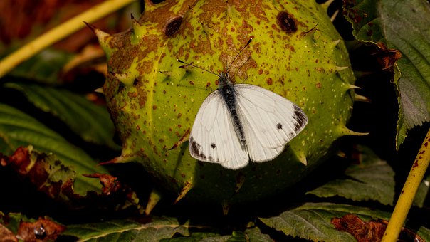 Butterfly, Chestnut, Nature, Insect, White, Autumn