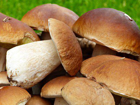 Porcini Mushrooms, Fresh, Close Up, Mushroom, Noble Rot