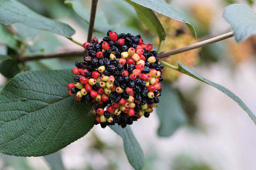Viburnum, Tušalaj, Faded, Seeds, Berry, Colors, Fruits