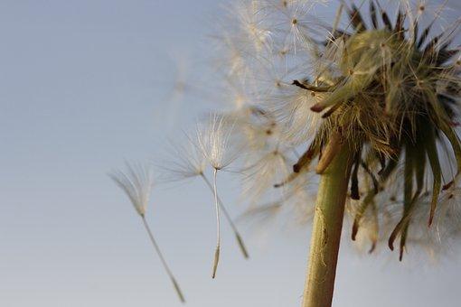 Flower, Dandelion, Nature, Spring, Plants, Grass, Seeds