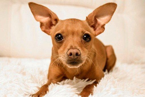 Dog, Pet, Miniature Pinscher, The, Pinscher, Mongrel