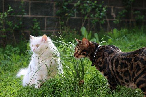 Cat, Bengal, White Cat, Tiger, Feline, India, Predator