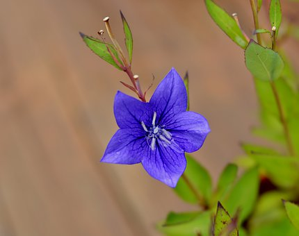 Campanula, Bells Flower, Flora, Purple, Nature, Lilac