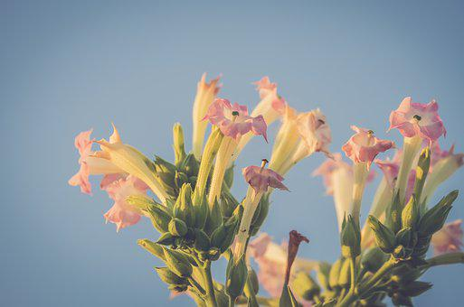Tobacco, Flower, Blossom, Bloom, Pink, Plant