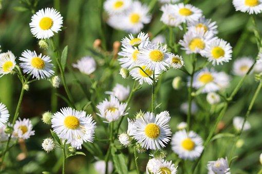 Fine Jet, Pointed Flower, White, Fleabane, Flower
