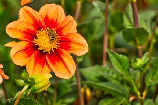 Flower, Bee, Nature, Blossom, Bloom, Red, Orange, Green