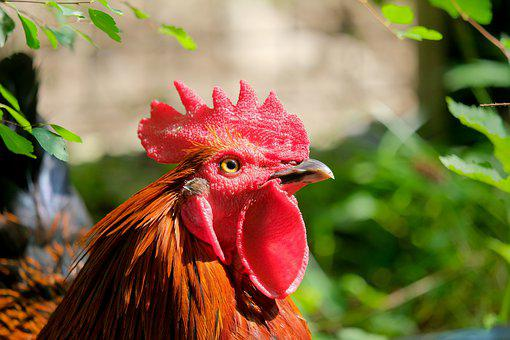 Hahn, Animal, Poultry, Gockel, Rooster Head, Comb, Red