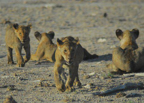 Lion Cubs, Wild, Wildlife, Africa, Safari, Nature