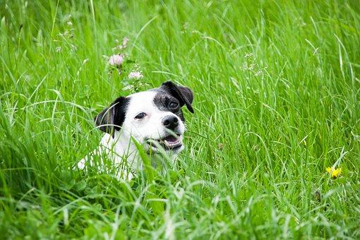 Dog, Meadow, Pet, Animal, Animal Portrait, Quadruped
