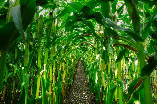 Corn, Cornfield, Corn On The Cob, Agriculture, Nature