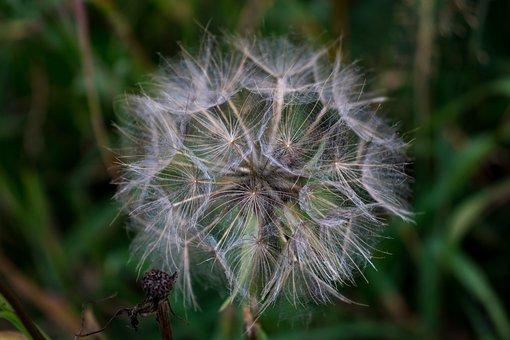 Dandelion, Flower, Plant, Nature, Spring, Bloom, Flora