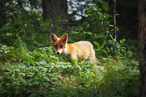 Young Fox, Fuchs, Red Fox, Curious, Wild, Nature