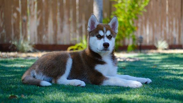 Siberian Husky, Puppy, Dog, Pet