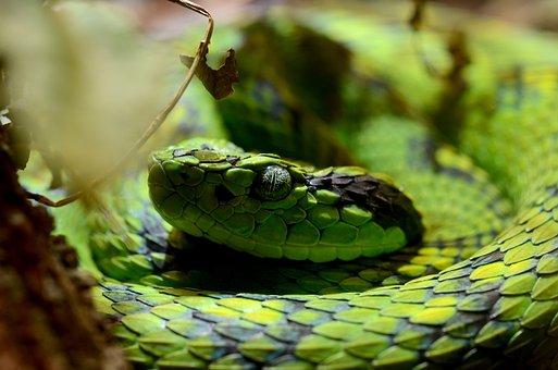 Bothriechis, Aurifer, Snake, Snakes, Pit Viper